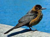 Blackbird on a blue background
