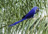 Blue and yellow hyacinthe macaw head in a tropical background