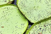 Victoria Regia (the largest water lily in the world) in Amazon, Brazil