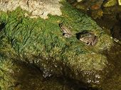Two Green Frogs On Rock With Water Grass