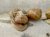 stock photo of garden snail  - Snails crawling on stone in the garden - JPG