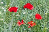 Red Flowering Poppies