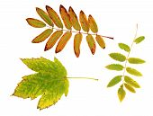 Autumn Maple And Rowan Leaves