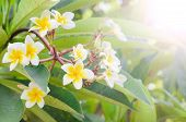 Frangipani, Plumeria Blooming, Templetree.