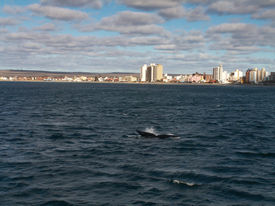 pic of whale-tail  - A Southern Right Whale tail with the backdrop of Puerto Madryn Argentina - JPG