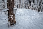 image of shacks  - A walk through the deciduous maple woods and a visit to the maple syrup cabin shack - JPG