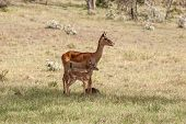 foto of antelope horn  - antelope and her cub on a background of green grass - JPG