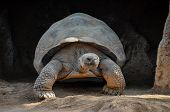 pic of tortoise  - Giant Big Galapgos Earth Tortoise Turtle on the Floor - JPG