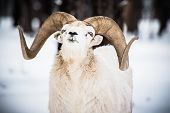 stock photo of sheep  - Bighorn Sheep in Winter Landscape. North American Bighorn Sheep. ** Note: Soft Focus at 100%, best at smaller sizes - JPG
