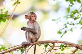 image of macaque  - Little Monkey (Crab-eating macaque) on tree in Thailand