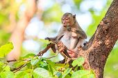 picture of macaque  - Monkey (Crab-eating macaque) eating leaves on tree in Thailand