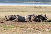 picture of cape buffalo  - The wild black African Buffalos lie on the grass savanna in Kenya - JPG