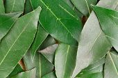 picture of bay leaf  - Background of bay leaves - JPG