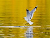stock photo of leaving  - Herring gull bird almost catching fish or leaving swimming position - JPG