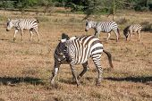 foto of grassland  - The zebras in the grasslands, Africa. Kenya