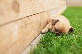 pic of french bulldog puppy  - little sleeping French bulldog puppie lying on a beautiful green grass - JPG