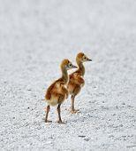 foto of baby chick  - Two Small Sandhill Crane Chicks  - JPG