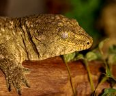 stock photo of tokay gecko  - fantastic close - JPG