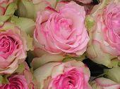 stock photo of rose close up  - A close - JPG
