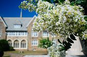 stock photo of crepe myrtle  - White southern myrtle crepes in bloom closeup - JPG