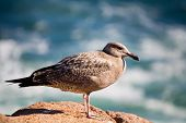 Seagull Resting On Rock By The Ocean 065