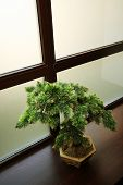 The Japanese dwarfish pine on a background of a window