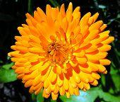 Pot Marigold Flower