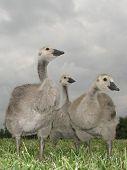 Gosling Triplets