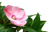Pink Impatiens flower with leaves, isolated on white