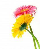 Gerber amarelo e rosa flores sobre fundo branco