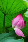 foto of hydrophytes  - The water lily in a pond and of the garden in beijing  - JPG