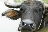 image of carabao  - The water buffalo in the water  - JPG