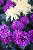 image of feverfew  - the chrysanthemum    of the garden - JPG