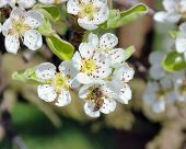 Bee In Pear Blossom