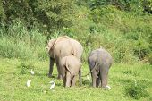 Many Elephants Is Eating In Grassland , Kui Buri Nationl Park And Walking Protect Baby Elephants Fro poster