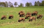 Herd of European Bison grazing