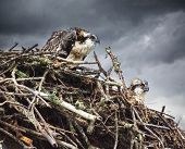 Wet Osprey Chicks In Nest Wet Rain In Back Ground Looking Unhappy poster