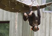 Playing Chimpanzee