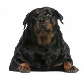 Fat Rottweiler, 3 years old, lying in front of white background