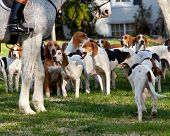 stock photo of foxhound  - Dogs of the Middleburg Hunt after traditional December parade down main street of Middleburg Virginia snapping at the legs of a horse - JPG