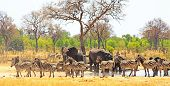 Panoramic View Of A Waterhole On The Makololo Plains With Elephants And Zebras Congregating In The H poster