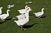 Free-Ranging Ducks
