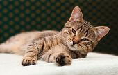 Tabby Cat Laying On Side