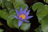 Thai Flower : Lotus Flower Or Nelumbo Nucifera Is One Of Two Extant Species Of Aquatic Plant, It Is  poster