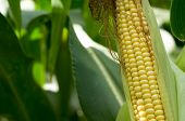 Close up of green husked ear of corn in field