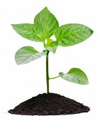Plant and soil, isolated on white background
