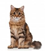 image of puss  - Cute young Siberian cat on white background - JPG