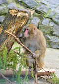 Monkey near conifer