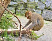 Little monkey sit on conifer