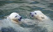 Two white polar bears play in water